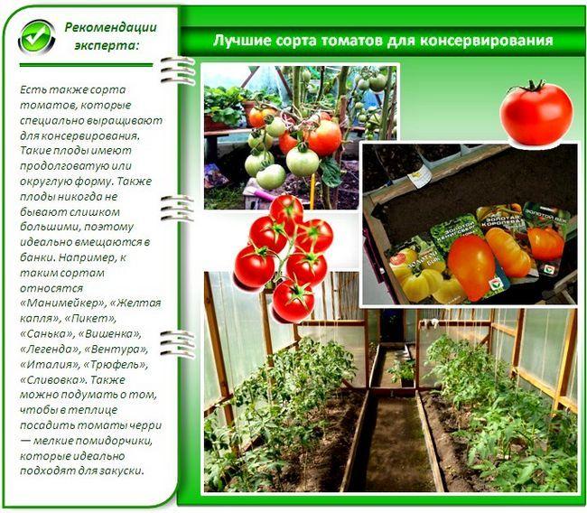 Кращі врожайні сорти помідорів для теплиць