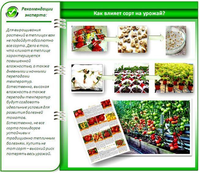 Пророщування і захист насіння помідорів