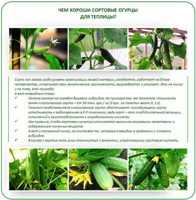 Які огірки краще садити в теплиці