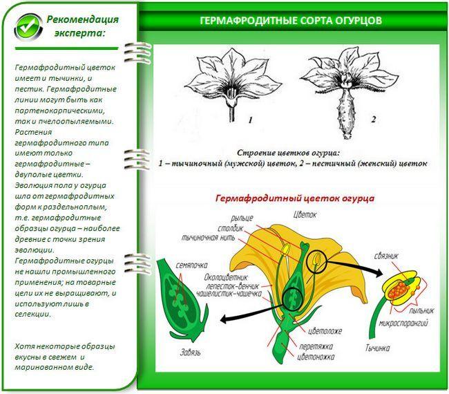 Які огірки краще садити в теплиці?