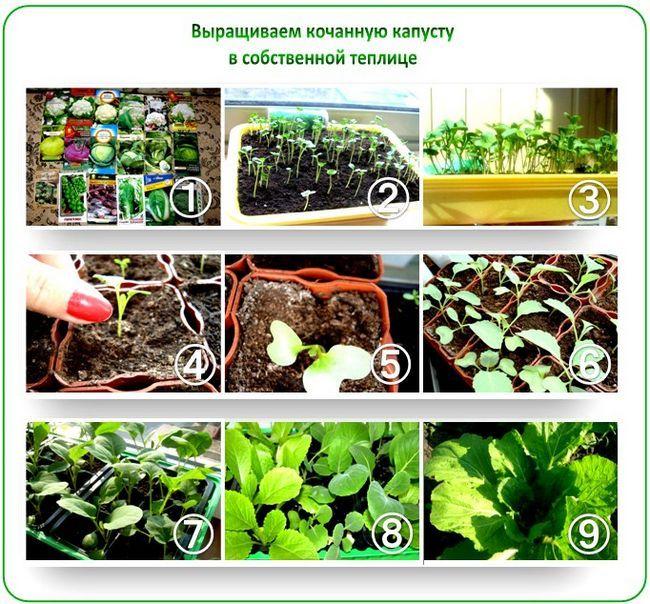 Вирощування капусти в теплиці